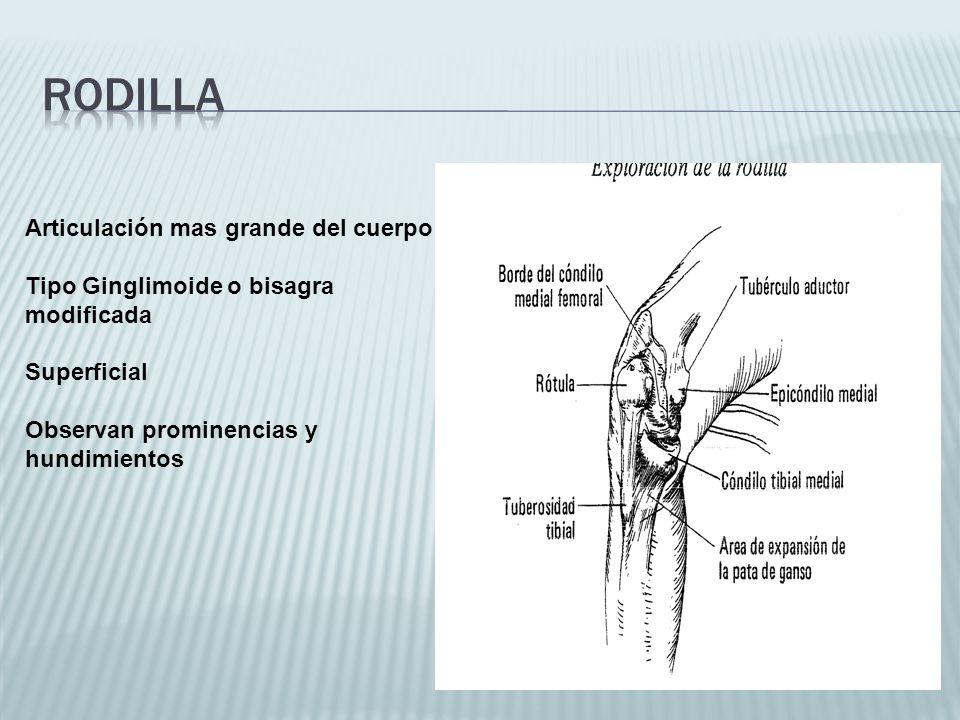 Articulación mas grande del cuerpo Tipo Ginglimoide o bisagra modificada Superficial Observan prominencias y hundimientos