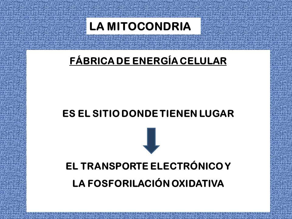LA MITOCONDRIA FÁBRICA DE ENERGÍA CELULAR ES EL SITIO DONDE TIENEN LUGAR EL TRANSPORTE ELECTRÓNICO Y LA FOSFORILACIÓN OXIDATIVA