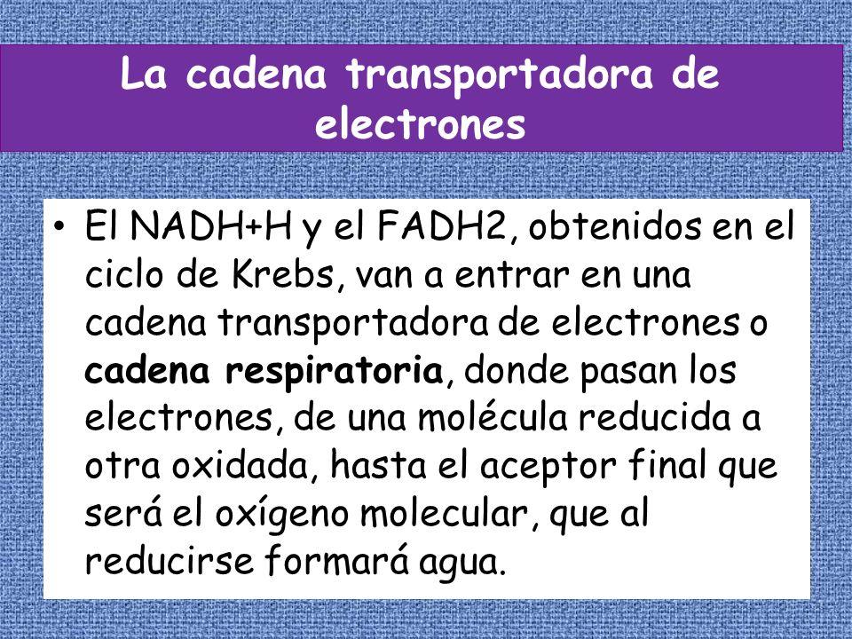La cadena transportadora de electrones El NADH+H y el FADH2, obtenidos en el ciclo de Krebs, van a entrar en una cadena transportadora de electrones o