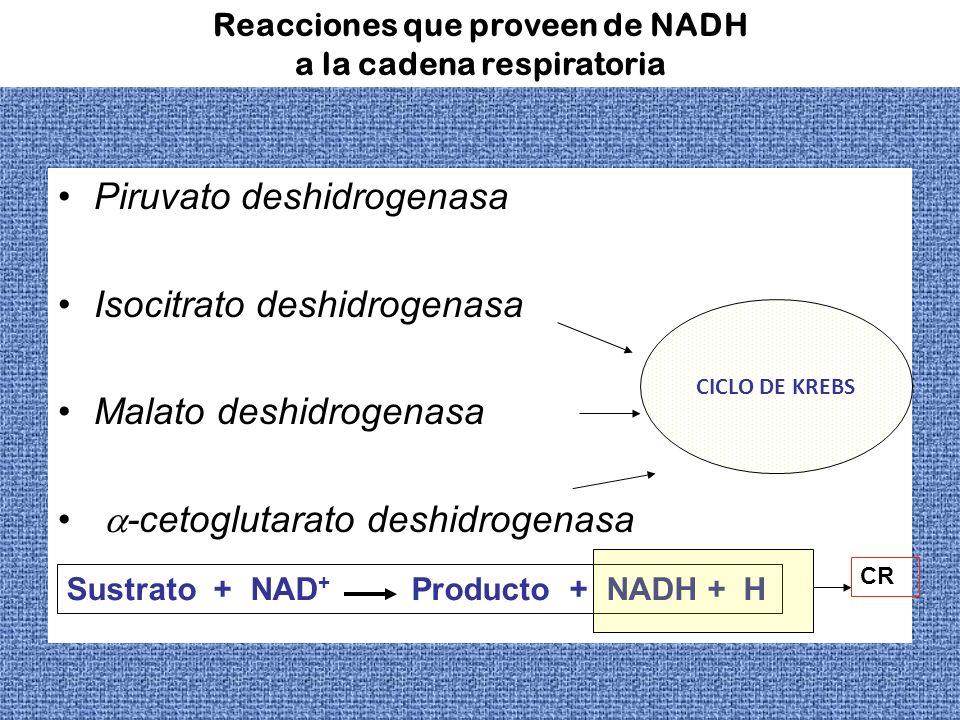 Reacciones que proveen de NADH a la cadena respiratoria Piruvato deshidrogenasa Isocitrato deshidrogenasa Malato deshidrogenasa -cetoglutarato deshidr