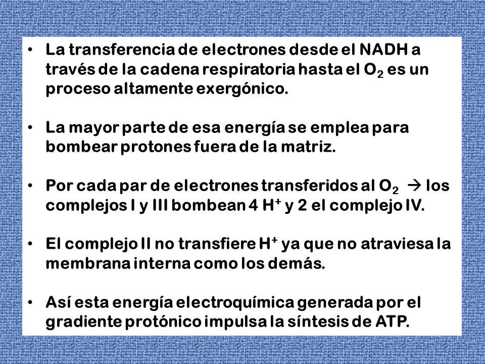 La transferencia de electrones desde el NADH a través de la cadena respiratoria hasta el O 2 es un proceso altamente exergónico. La mayor parte de esa
