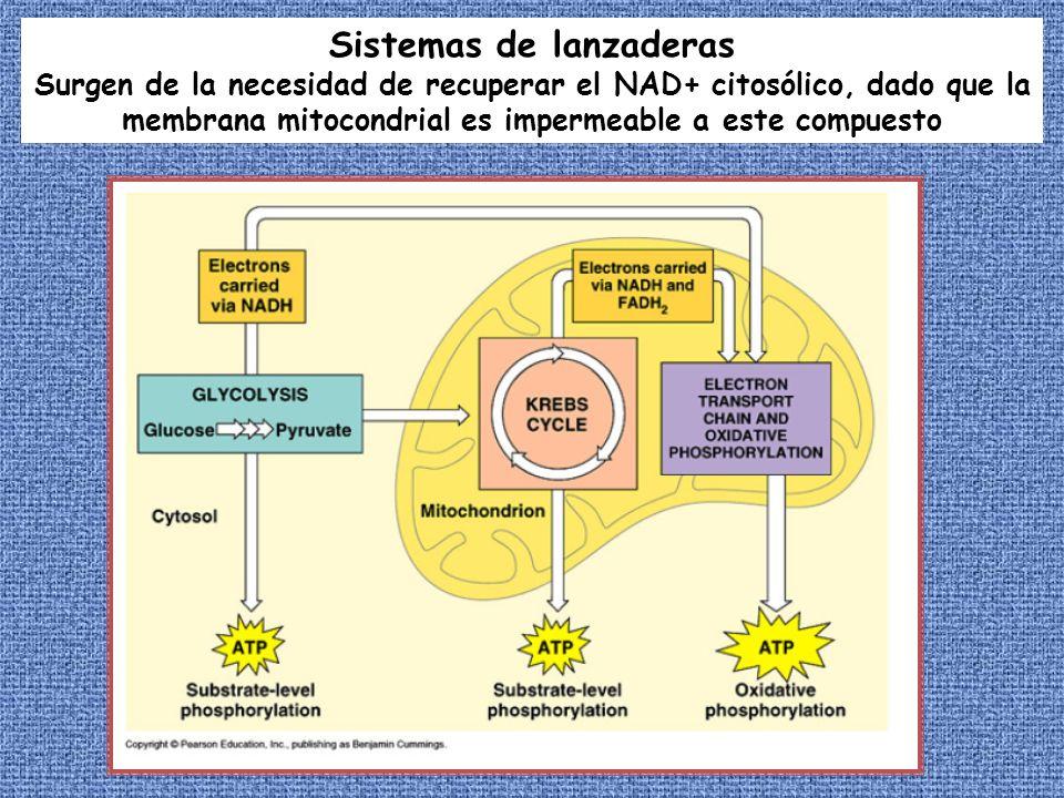 Sistemas de lanzaderas Surgen de la necesidad de recuperar el NAD+ citosólico, dado que la membrana mitocondrial es impermeable a este compuesto