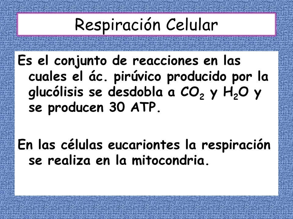 Respiración Celular Es el conjunto de reacciones en las cuales el ác. pirúvico producido por la glucólisis se desdobla a CO 2 y H 2 O y se producen 30