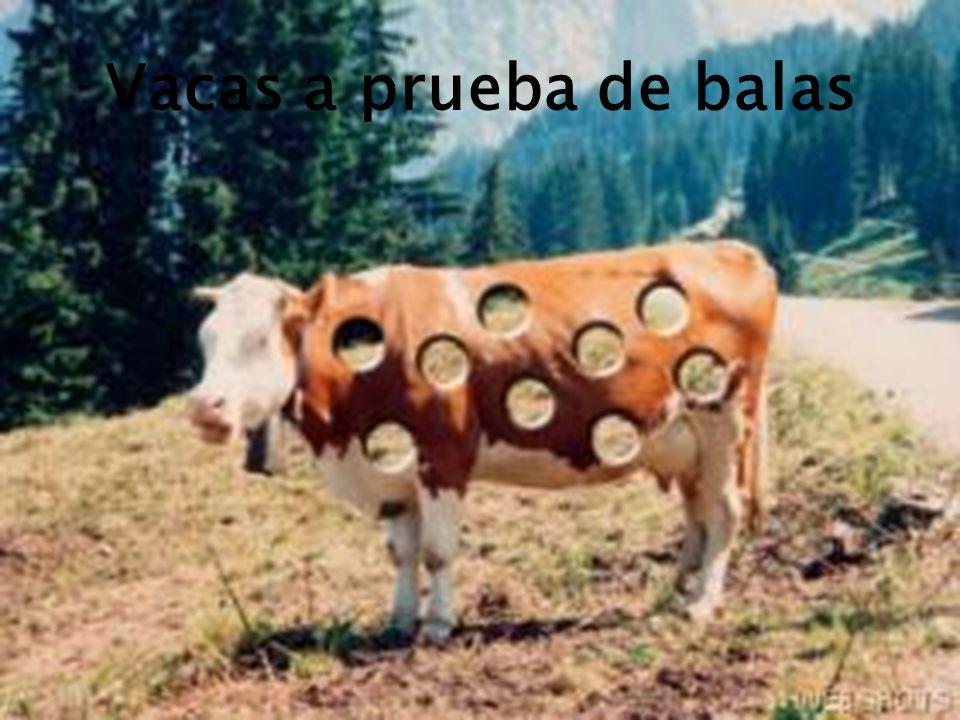 Vacas a prueba de balas