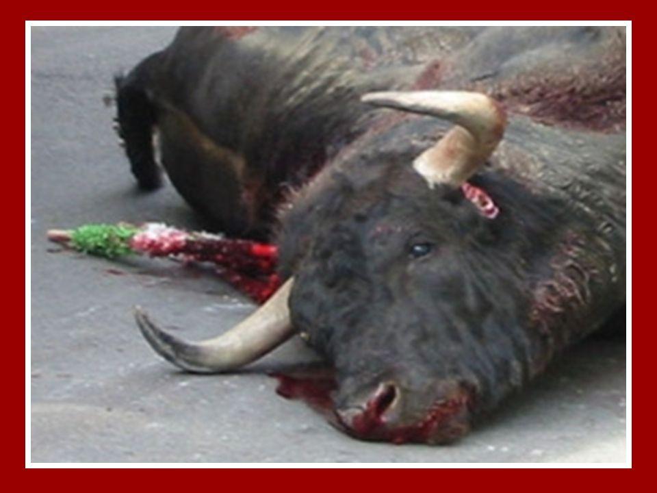 Se cree valiente… pero no lo es. 24 Horas antes de entrar en la arena, el toro ha sido sometido a un encierro a oscuras para que al soltarlo, la luz y