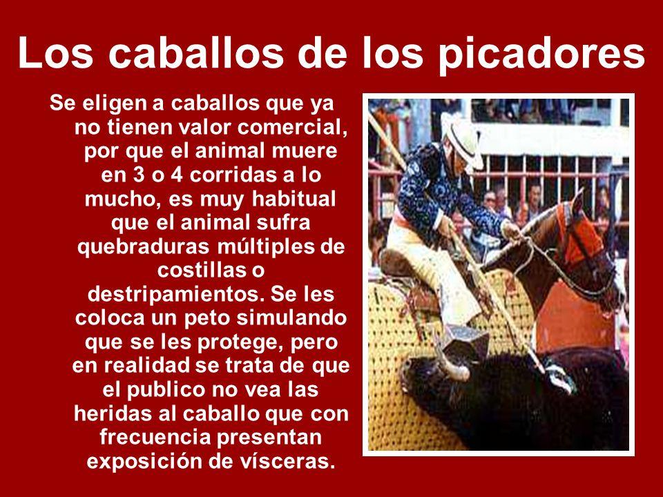 Los caballos de los picadores Se eligen a caballos que ya no tienen valor comercial, por que el animal muere en 3 o 4 corridas a lo mucho, es muy habitual que el animal sufra quebraduras múltiples de costillas o destripamientos.