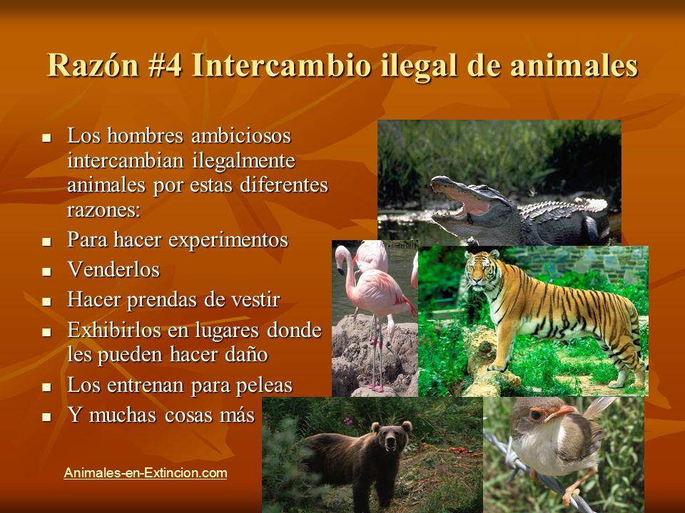 Razón #4 Intercambio ilegal de animales Los hombres ambiciosos intercambian ilegalmente animales por estas diferentes razones: Los hombres ambiciosos