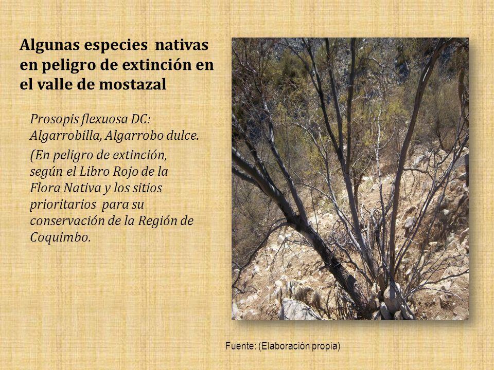 Algunas especies nativas en peligro de extinción en el valle de mostazal Prosopis flexuosa DC: Algarrobilla, Algarrobo dulce.
