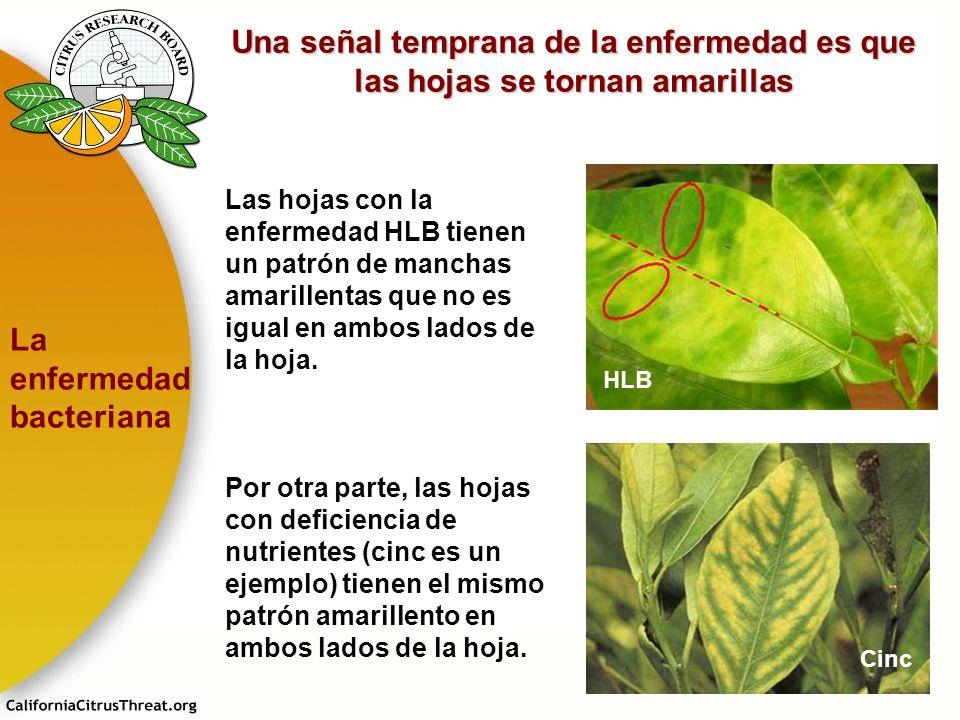 Una señal temprana de la enfermedad es que las hojas se tornan amarillas Por otra parte, las hojas con deficiencia de nutrientes (cinc es un ejemplo)
