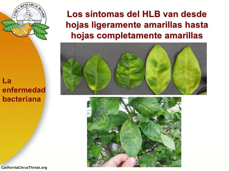 Los síntomas del HLB van desde hojas ligeramente amarillas hasta hojas completamente amarillas La enfermedad bacteriana