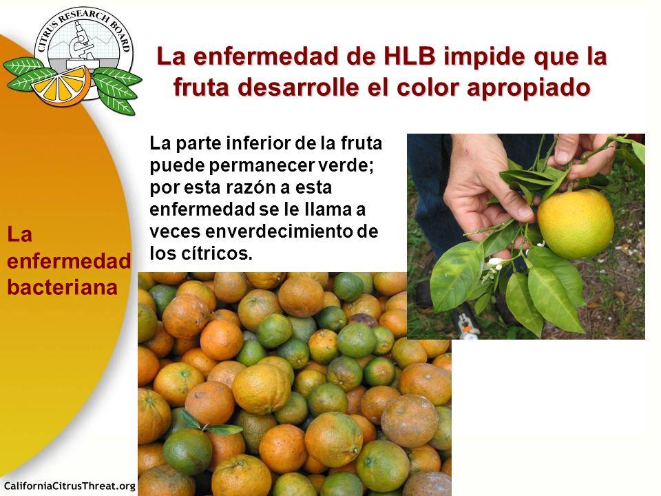 La enfermedad de HLB impide que la fruta desarrolle el color apropiado La parte inferior de la fruta puede permanecer verde; por esta razón a esta enf