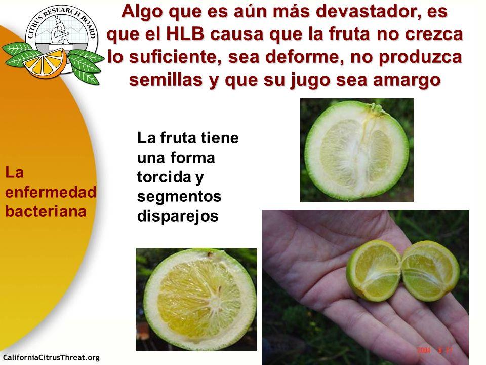 Algo que es aún más devastador, es que el HLB causa que la fruta no crezca lo suficiente, sea deforme, no produzca semillas y que su jugo sea amargo L