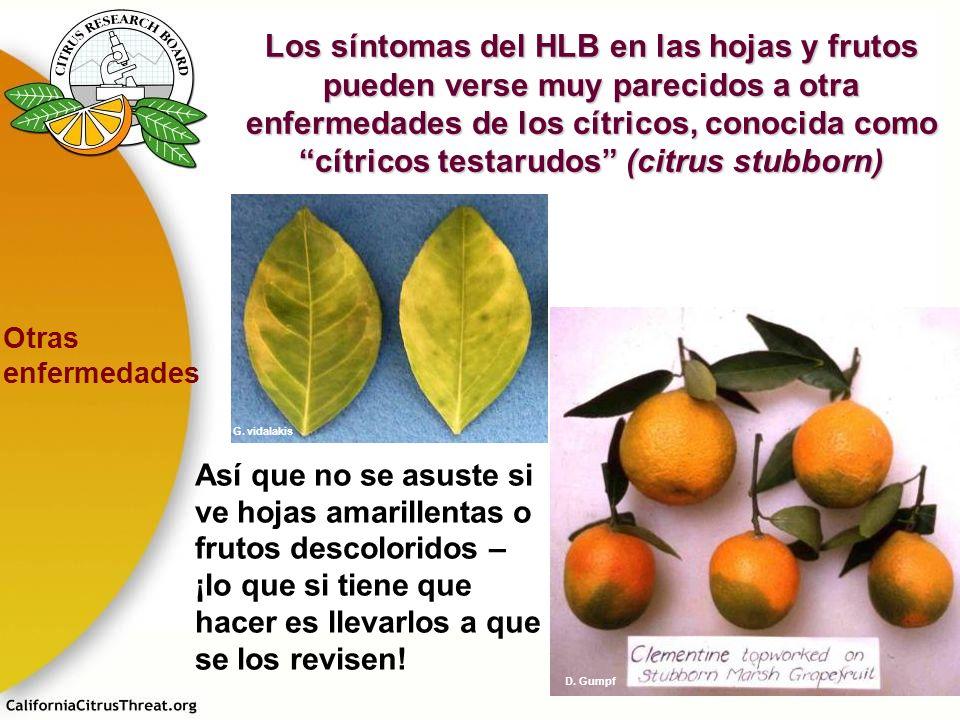 Los síntomas del HLB en las hojas y frutos pueden verse muy parecidos a otra enfermedades de los cítricos, conocida como cítricos testarudos (citrus s