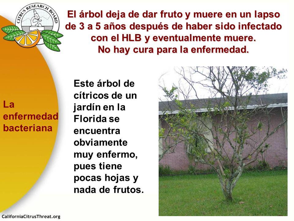 El árbol deja de dar fruto y muere en un lapso de 3 a 5 años después de haber sido infectado con el HLB y eventualmente muere. No hay cura para la enf