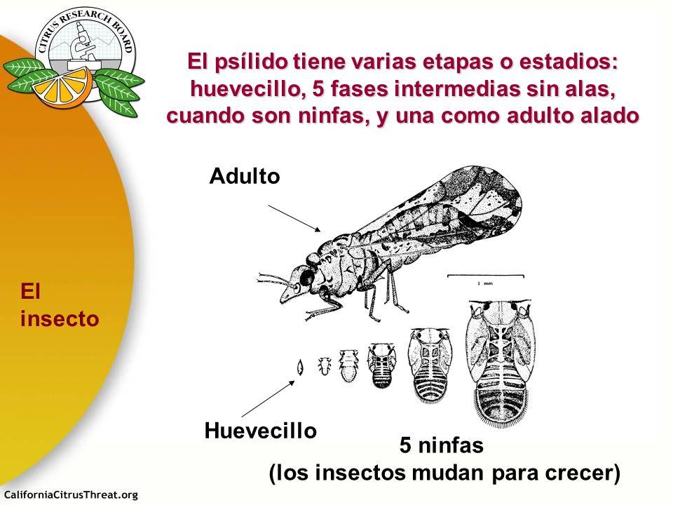 El psílido tiene varias etapas o estadios: huevecillo, 5 fases intermedias sin alas, cuando son ninfas, y una como adulto alado Adulto Huevecillo 5 ni