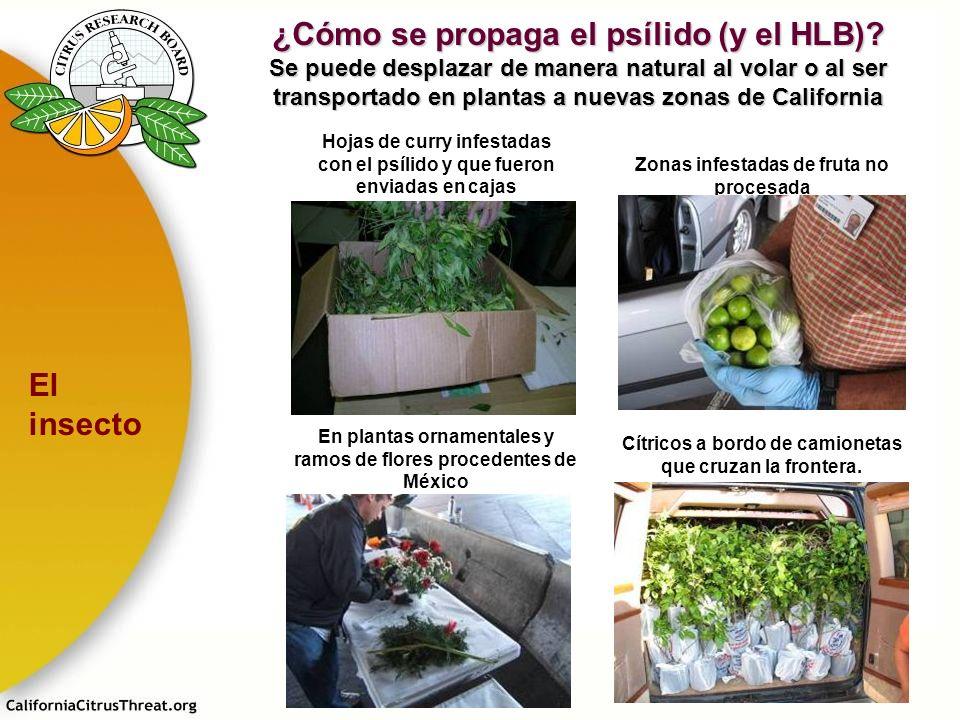 Hojas de curry infestadas con el psílido y que fueron enviadas en cajas Zonas infestadas de fruta no procesada Cítricos a bordo de camionetas que cruz