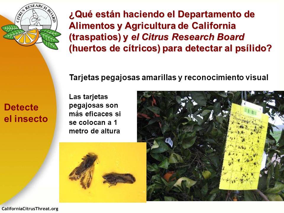 ¿Qué están haciendo el Departamento de Alimentos y Agricultura de California (traspatios) y el Citrus Research Board (huertos de cítricos) para detect