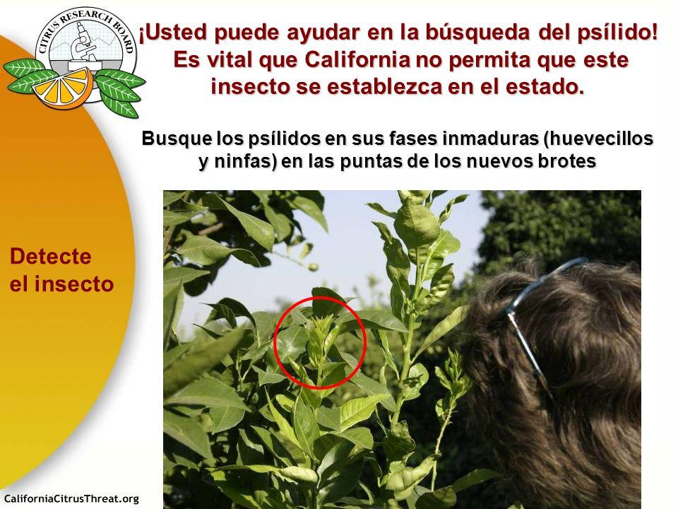 ¡Usted puede ayudar en la búsqueda del psílido! Es vital que California no permita que este insecto se establezca en el estado. Es vital que Californi