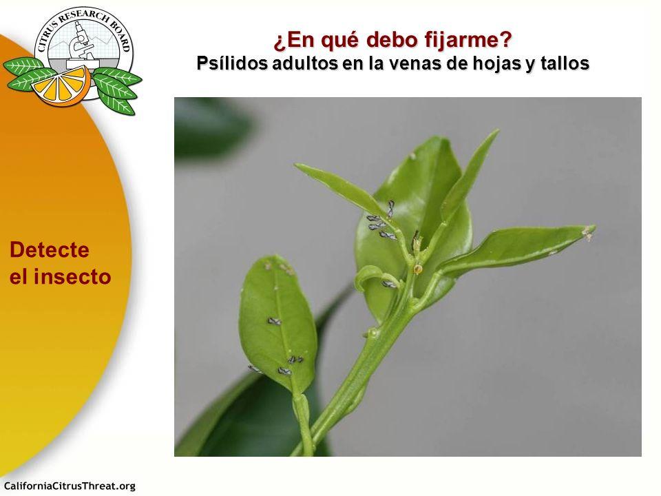¿En qué debo fijarme? Psílidos adultos en la venas de hojas y tallos Detecte el insecto E. Grafton-Cardwell M. Rogers