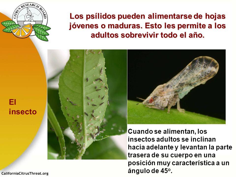 Los psílidos pueden alimentarse de hojas jóvenes o maduras. Esto les permite a los adultos sobrevivir todo el año. Cuando se alimentan, los insectos a
