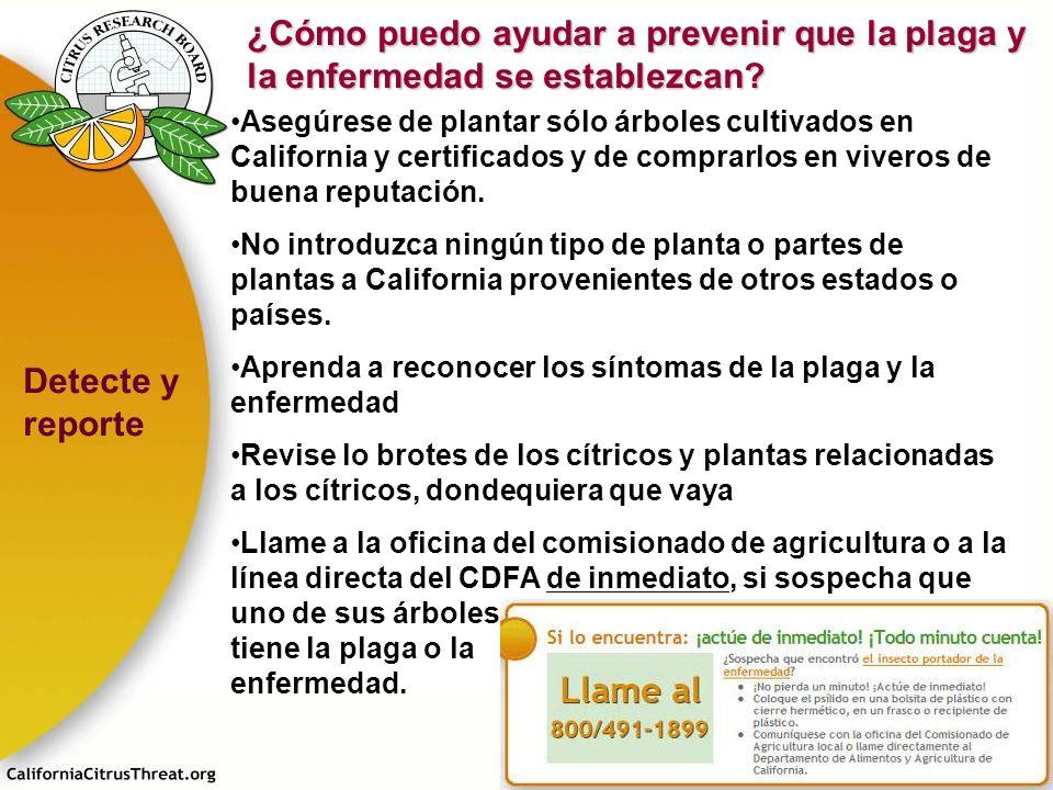 Asegúrese de plantar sólo árboles cultivados en California y certificados y de comprarlos en viveros de buena reputación. No introduzca ningún tipo de
