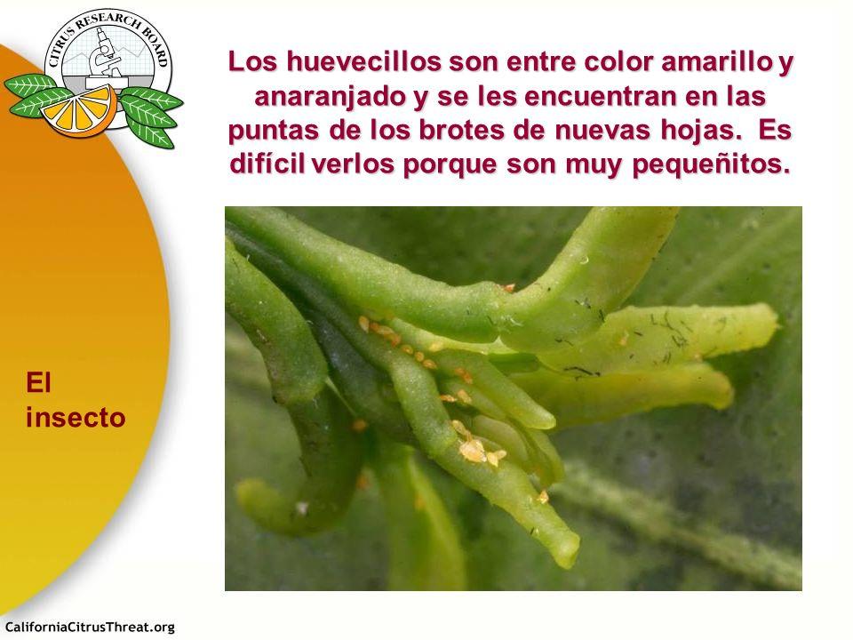 Los huevecillos son entre color amarillo y anaranjado y se les encuentran en las puntas de los brotes de nuevas hojas. Es difícil verlos porque son mu