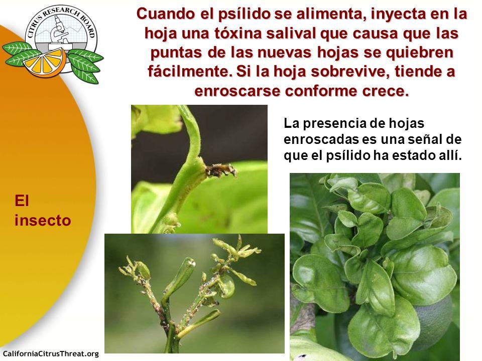 Cuando el psílido se alimenta, inyecta en la hoja una tóxina salival que causa que las puntas de las nuevas hojas se quiebren fácilmente. Si la hoja s