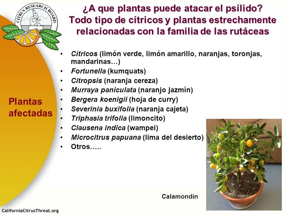 ¿A que plantas puede atacar el psílido? Todo tipo de cítricos y plantas estrechamente relacionadas con la familia de las rutáceas Cítricos (limón verd