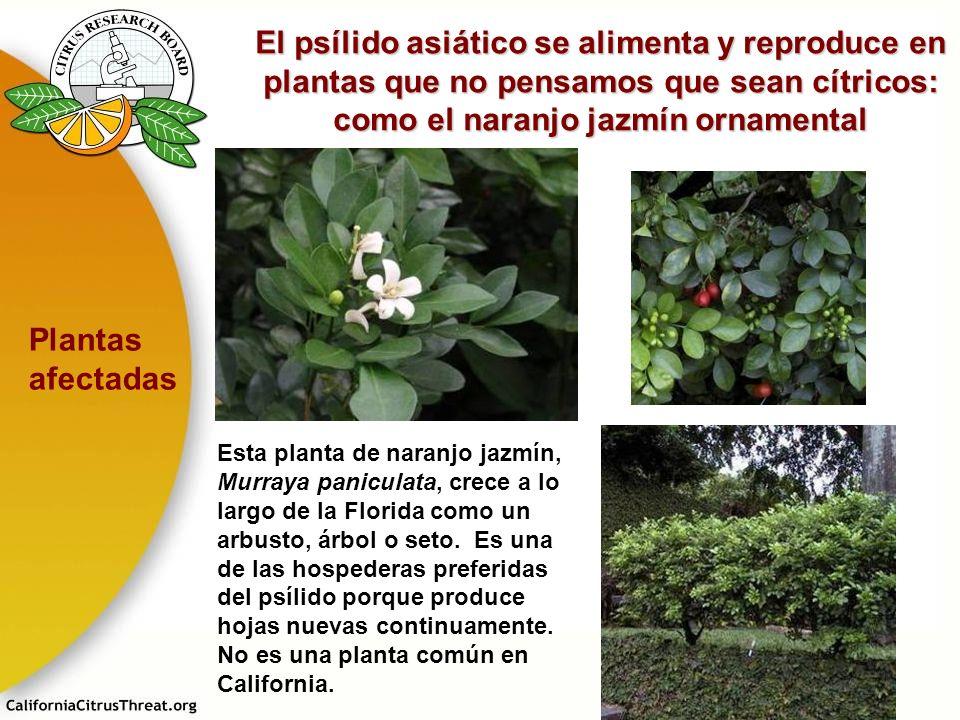 El psílido asiático se alimenta y reproduce en plantas que no pensamos que sean cítricos: como el naranjo jazmín ornamental Esta planta de naranjo jaz