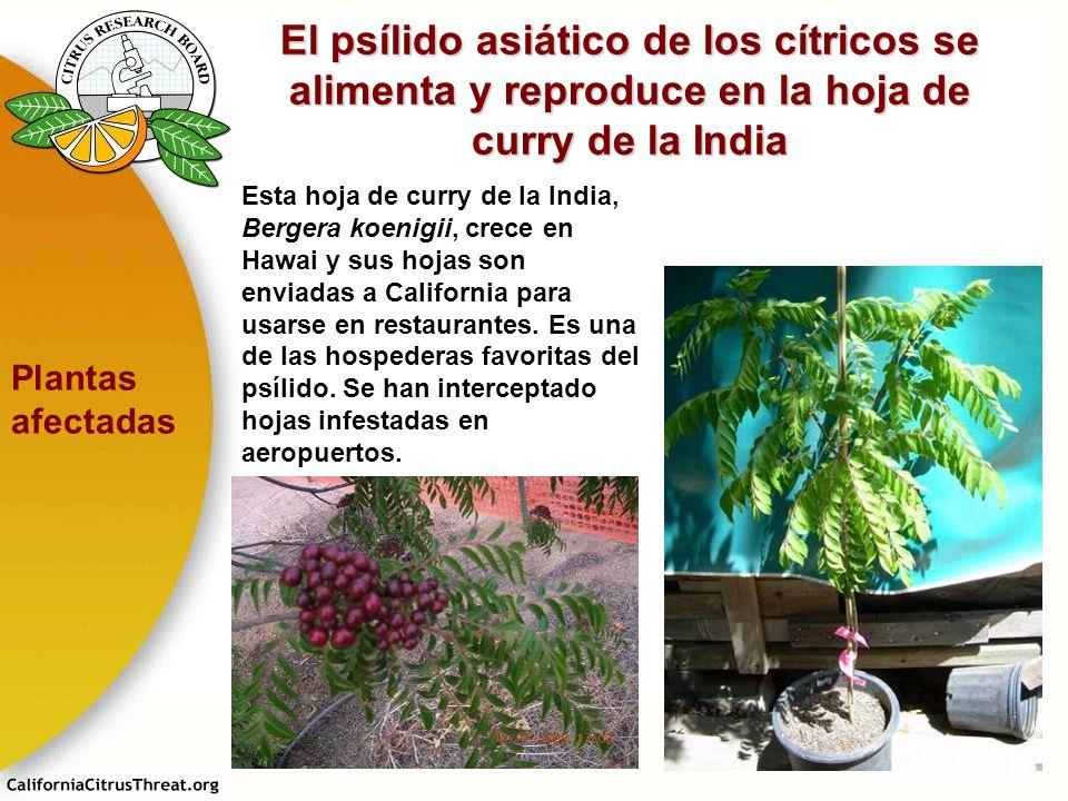 El psílido asiático de los cítricos se alimenta y reproduce en la hoja de curry de la India Esta hoja de curry de la India, Bergera koenigii, crece en