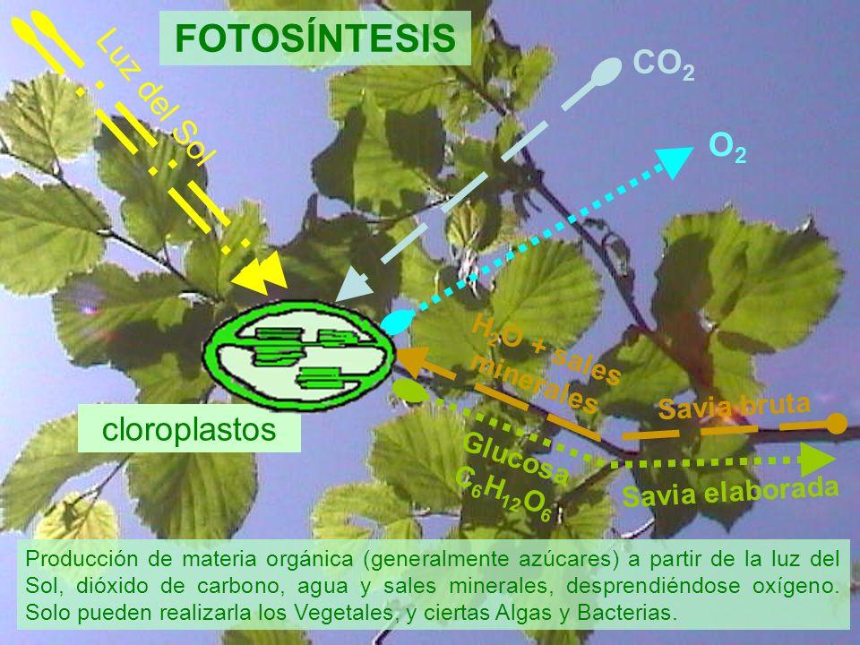 Luz del Sol CO 2 H 2 O + sales minerales Savia bruta Savia elaborada Glucosa C 6 H 12 O 6 O2O2 FOTOSÍNTESIS cloroplastos Producción de materia orgánic