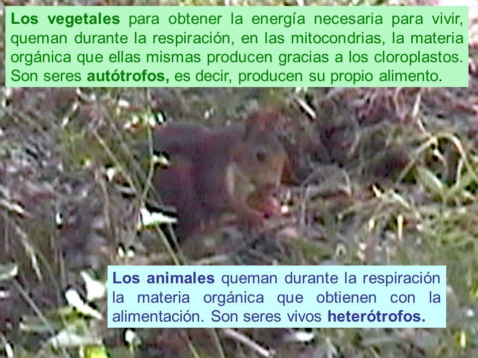 No solo los animales consiguen energía alimentándose de otros seres vivos, algunas plantas también capturan animales para obtener ciertos nutrientes escasos en su hábitat, como esta insectívora (Pingüicola vallisneripholia, Sierra de Cazorla)