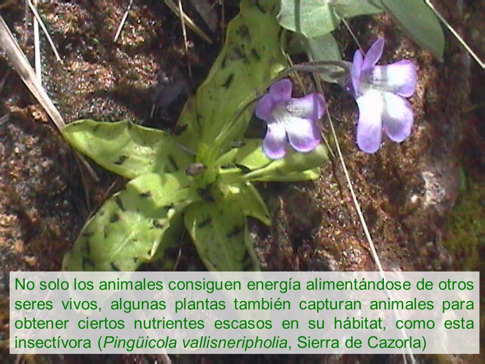 No solo los animales consiguen energía alimentándose de otros seres vivos, algunas plantas también capturan animales para obtener ciertos nutrientes e