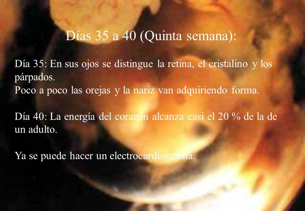 Días 35 a 40 (Quinta semana): Día 35: En sus ojos se distingue la retina, el cristalino y los párpados.