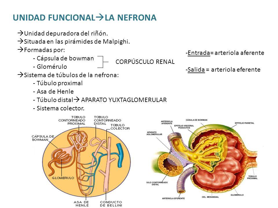 UNIDAD FUNCIONAL LA NEFRONA Unidad depuradora del riñón. Situada en las pirámides de Malpighi. Formadas por: - Cápsula de bowman - Glomérulo Sistema d