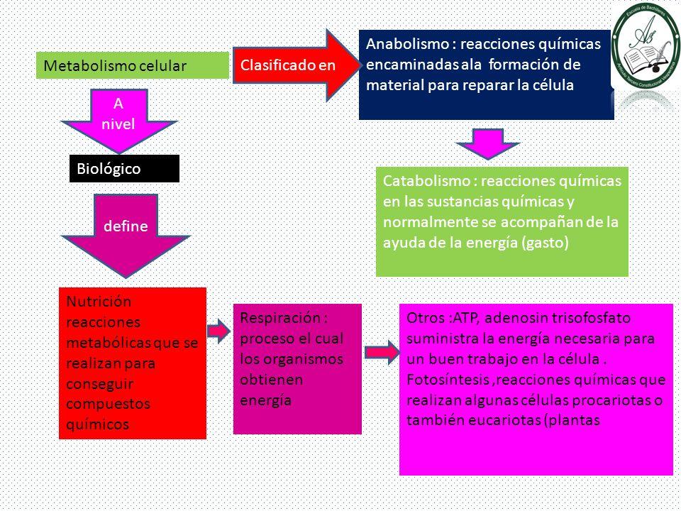 Metabolismo celular Anabolismo : reacciones químicas encaminadas ala formación de material para reparar la célula Catabolismo : reacciones químicas en