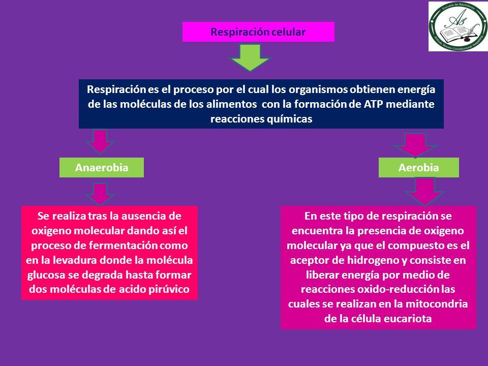 Respiración celular Respiración es el proceso por el cual los organismos obtienen energía de las moléculas de los alimentos con la formación de ATP me