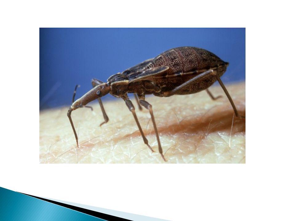 También, el Chagas se origina por mecanismos menos comunes como una contaminación en un laboratorio.