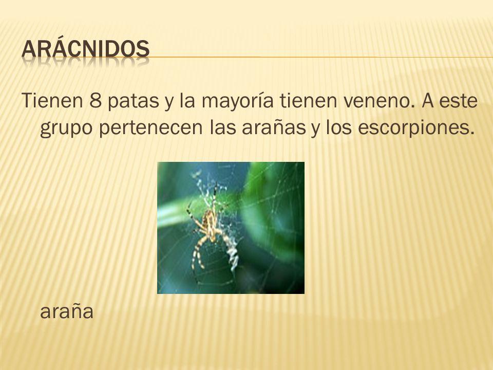 Tienen 8 patas y la mayoría tienen veneno. A este grupo pertenecen las arañas y los escorpiones. araña