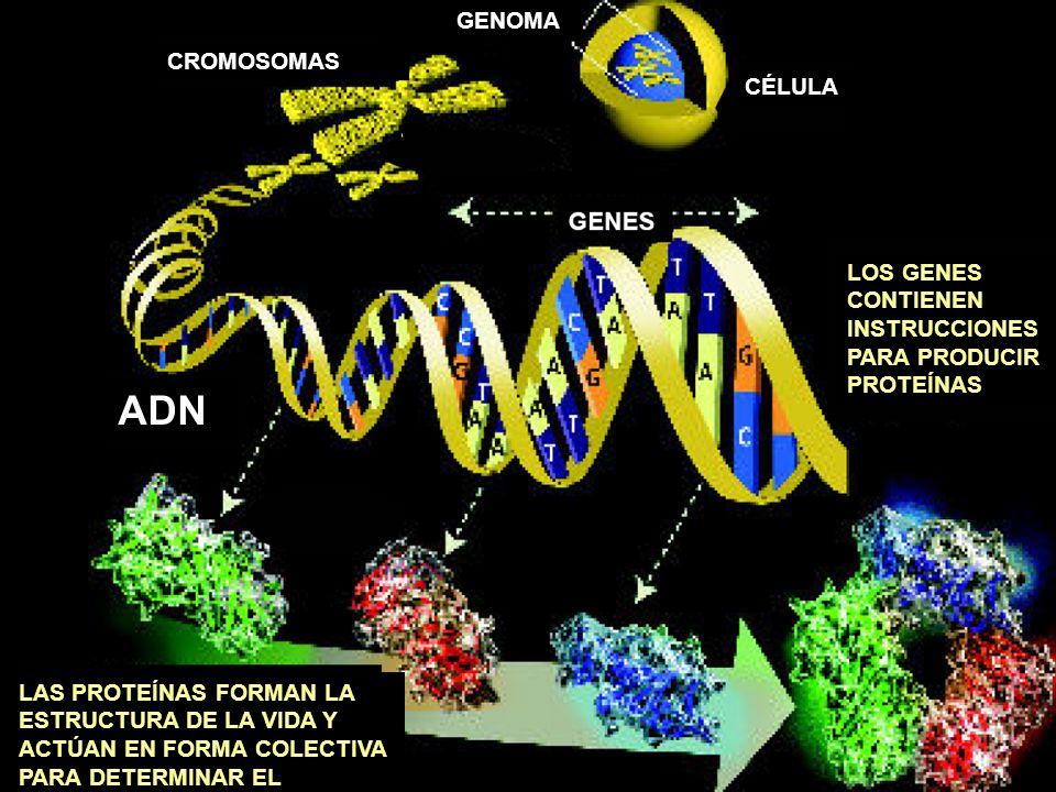 CROMOSOMAS CÉLULA ADN LOS GENES CONTIENEN INSTRUCCIONES PARA PRODUCIR PROTEÍNAS LAS PROTEÍNAS FORMAN LA ESTRUCTURA DE LA VIDA Y ACTÚAN EN FORMA COLECT