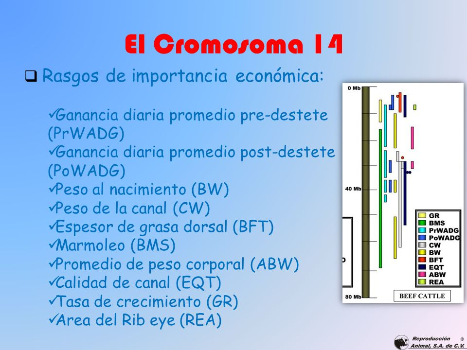 El Cromosoma 14 Rasgos de importancia económica: Ganancia diaria promedio pre-destete (PrWADG) Ganancia diaria promedio post-destete (PoWADG) Peso al