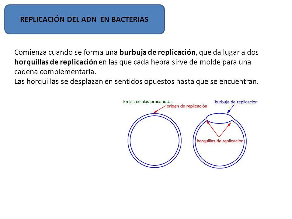 APERTURA Y DESENROLLAMIENTO La separación comienza en el punto oriC rico en secuencias GATC : origen de replicación.