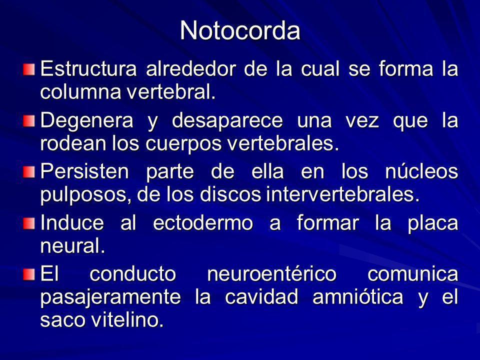 Notocorda Estructura alrededor de la cual se forma la columna vertebral.