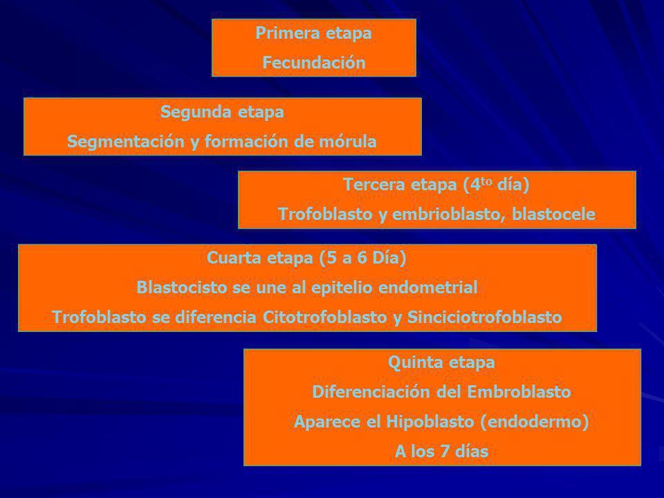 Primera etapa Fecundación Segunda etapa Segmentación y formación de mórula Cuarta etapa (5 a 6 Día) Blastocisto se une al epitelio endometrial Trofoblasto se diferencia Citotrofoblasto y Sinciciotrofoblasto Tercera etapa (4 to día) Trofoblasto y embrioblasto, blastocele Quinta etapa Diferenciación del Embroblasto Aparece el Hipoblasto (endodermo) A los 7 días