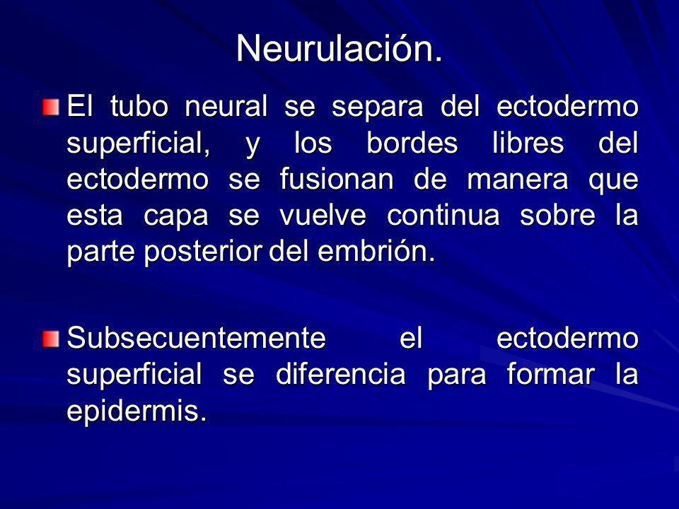 Neurulación.