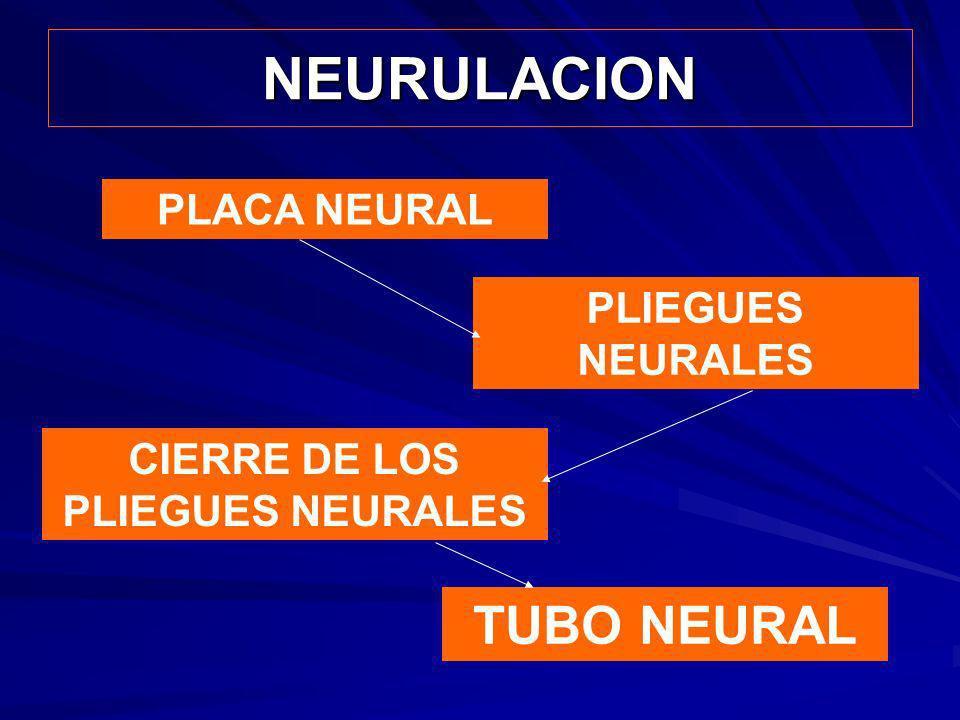 NEURULACION PLACA NEURAL PLIEGUES NEURALES CIERRE DE LOS PLIEGUES NEURALES TUBO NEURAL