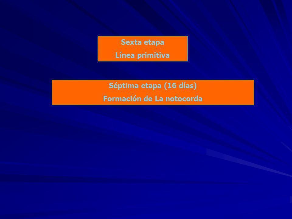 Sexta etapa Línea primitiva Séptima etapa (16 días) Formación de La notocorda