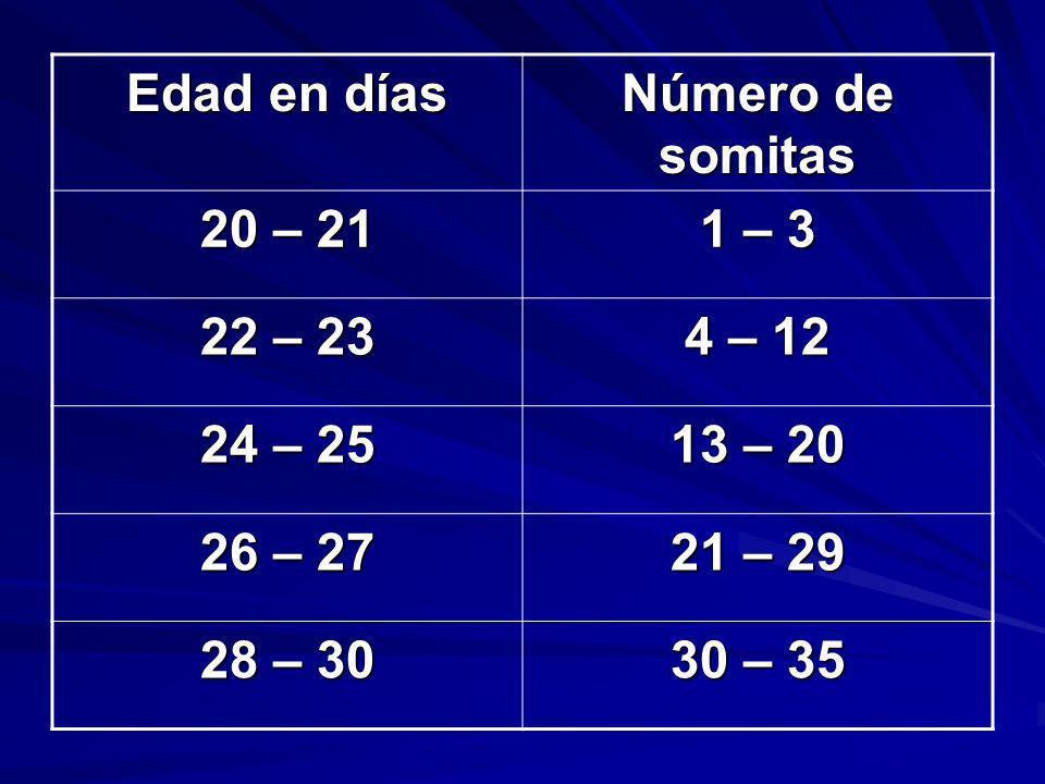Edad en días Número de somitas 20 – 21 1 – 3 22 – 23 4 – 12 24 – 25 13 – 20 26 – 27 21 – 29 28 – 30 30 – 35