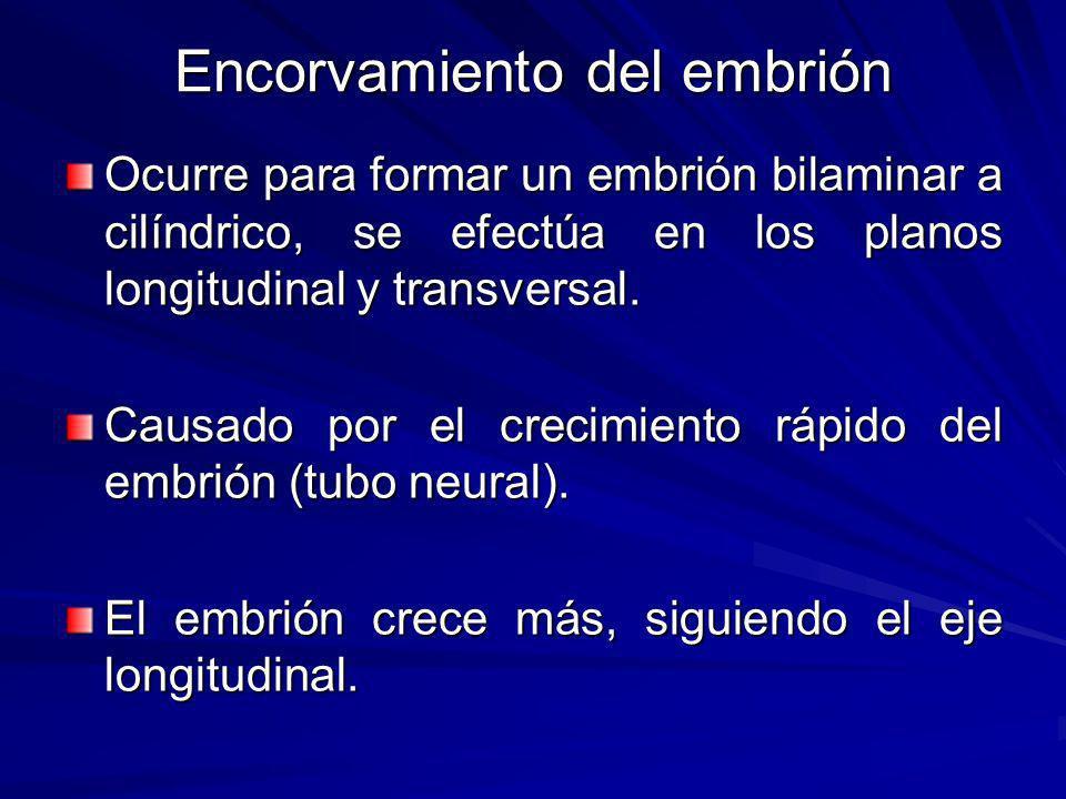 Encorvamiento del embrión Ocurre para formar un embrión bilaminar a cilíndrico, se efectúa en los planos longitudinal y transversal.