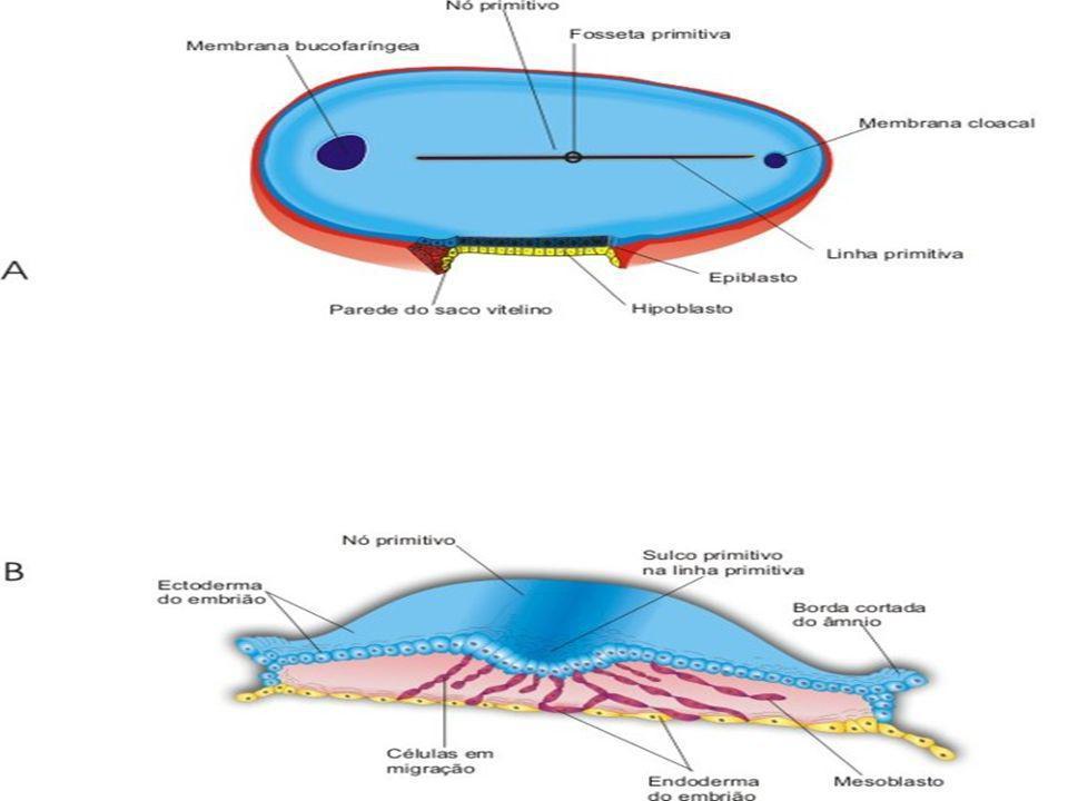 Disco embrionario plano Embrión piriforme Se alarga al crecer la prolongación notocordal Crece más en la parte cefálica